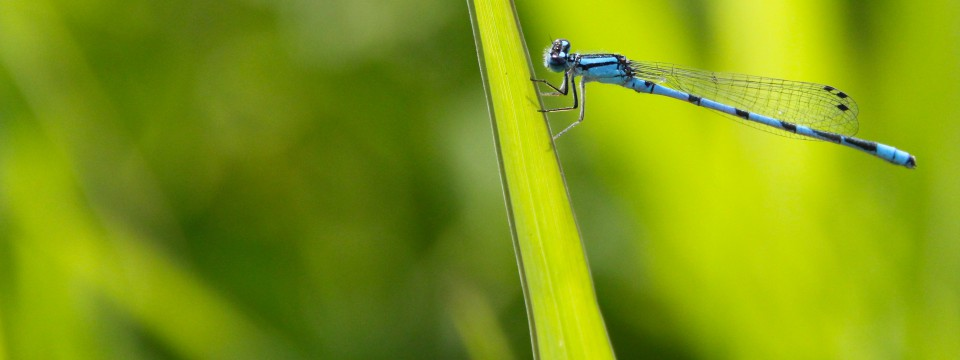 Northern Bluet @ Grass Creek Park, Kingston, ON (July 2012)